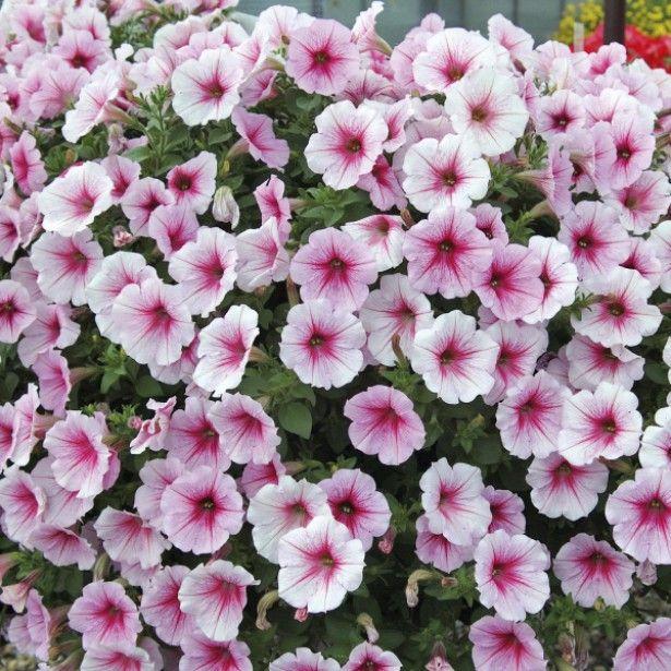 Riippupetunia 'Sunpleasure Patio Cherry Vein'