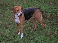 El perro de caza de zorros americano, más conocido como foxhound americano es una raza de perro muy cercana al foxhound inglés, son sabuesos, perros que se guían por el olfato para cazar zorros.