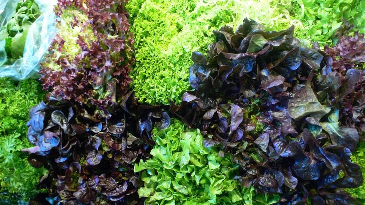 Trocadero lettuce, lollo rosso, Roman Endive, oak leaf, lettuce hearts, radicchio, Endive, Arugula, Canon ... for a greener life style! Do you want to join?