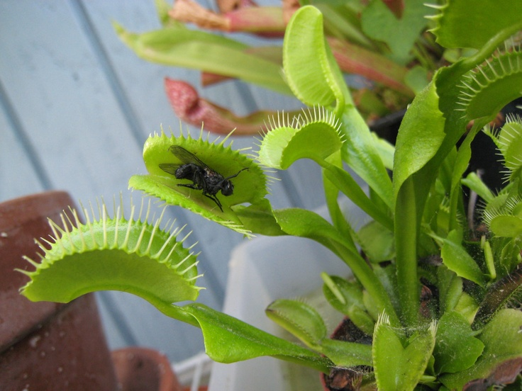 Venus Fly Trap Venus fly trap, Fly traps, Plants
