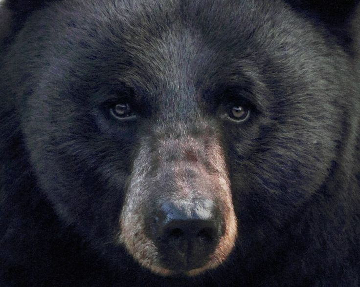 Black bear  Though the smallest of America's bears, the black bear is the most widely distributed, and thus is the least vulnerable. They're mostly found in Canada and Alaska, but also inhabit wooded areas pretty much anywhere in the US and down into Mexico.