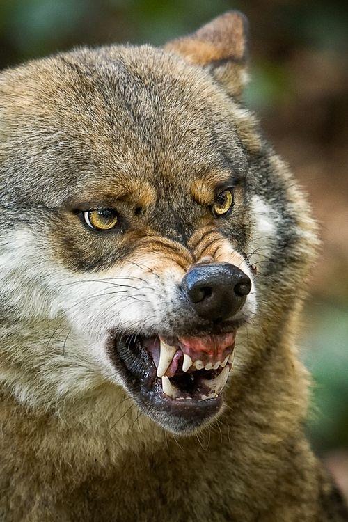 El ámbito de una manada de lobos se puede solapar con la de otros lobos. Mientras la comida es abundante, por lo general se ignoran entre sí y siguen su camino. Cuando la comida es escasa luchan para determinar qué grupo tiene el derecho a alimentarse. En este caso los lobos de más bajo rango son los que lucharán.
