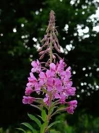 Canadian Willowherb – a plant extract that has soothing, anti-inflammatory and anti-microbial activity and is an excellent free radical scavenger
