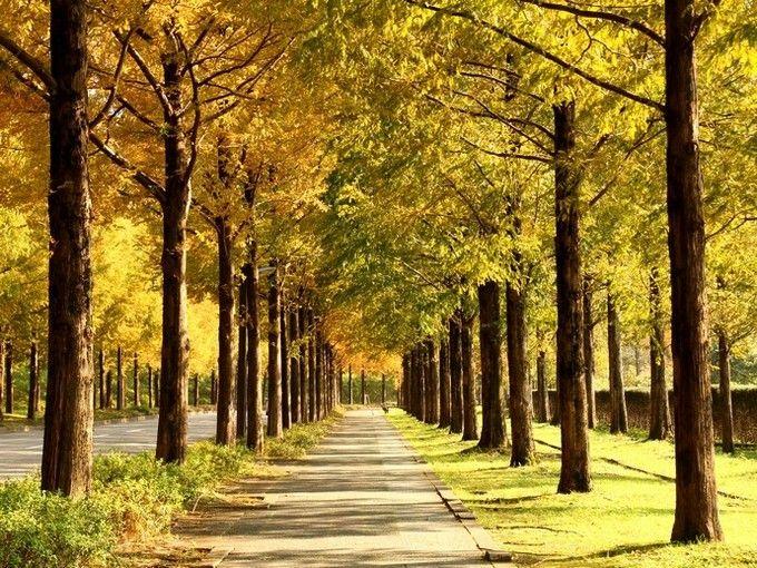 紅葉の並木道は最高のドライブコース!滋賀県「メタセコイア並木」 | RETRIP