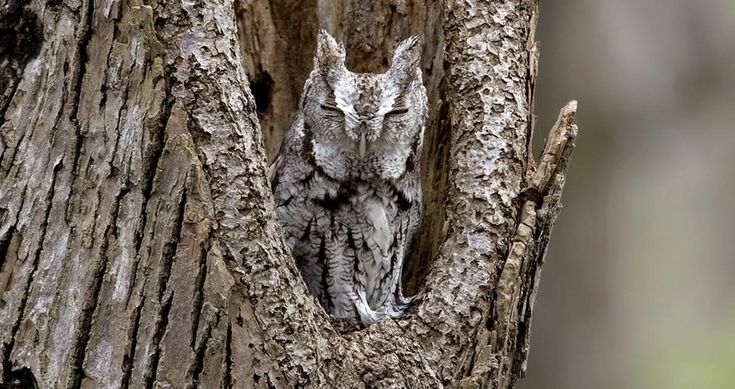 If a mysterious trill catches your attention in the night, bear in mind the spooky sound may come from an owl no bigger than a pint glass. Common east of the Rockies in woods, suburbs, and parks, the Eastern Screech-Owl is found wherever trees are, and they're even willing to nest in backyard nest boxes. These supremely camouflaged birds hide out in nooks and tree crannies through the day, so train your ears and listen for them at night.