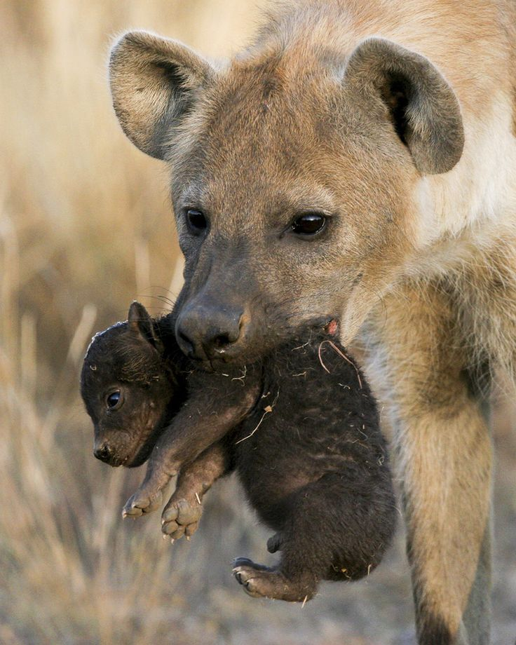 Baby Hyena: 357 Best Aardwolf, Hyena, And Wild Dogs Images On Pinterest