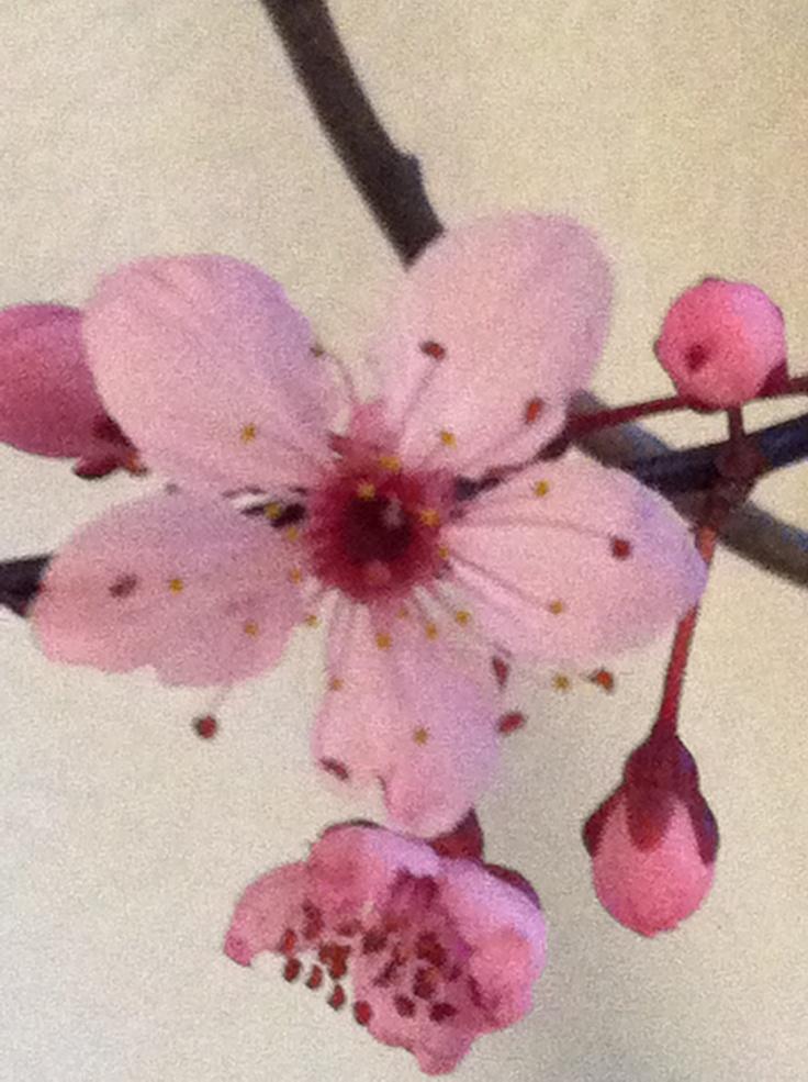 Kirschblüte, Blüte