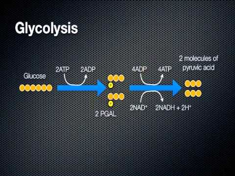 Cellular Respiration - Energy in a Cell  Goo from 5 min mark to 20 min  Kreb Cycle