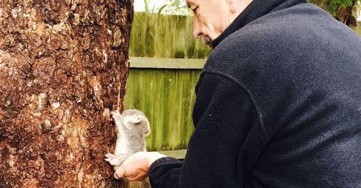 This teeny-weeny koala will ruin you. http://mashable.com/2016/06/08/baby-koala-australia/?utm_cid=mash-prod-nav-sub-st