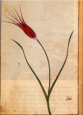 Tulip, Ustad Mansur, early 17th century. Via.
