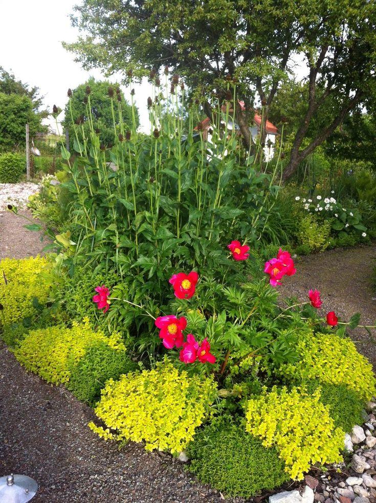 Perenner med höjd ger karaktär och fyller bra i en rabatt. Trollkarlsrudbeckian (Green Wizard). Blommorna saknar kronblad, de består av en svart topp omgiven av gröna foderblad. Den börjar växa tidigt på våren och bildar med åren en stor rugge. Fröställningarna sitter kvar en bra bit in på vintern.