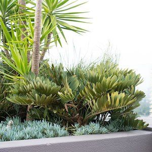 #outdoorestablishments - There is just something about the Zamia furfuracea. Without a doubt one of favourites!