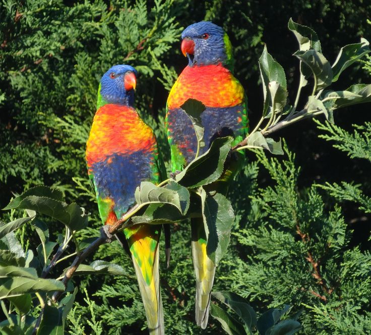 These Rainbow Lories have wiped out all our apples....