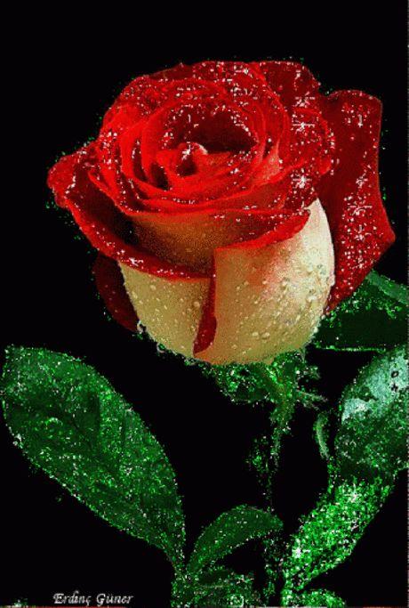 Открытки сделать, гифка живые розы