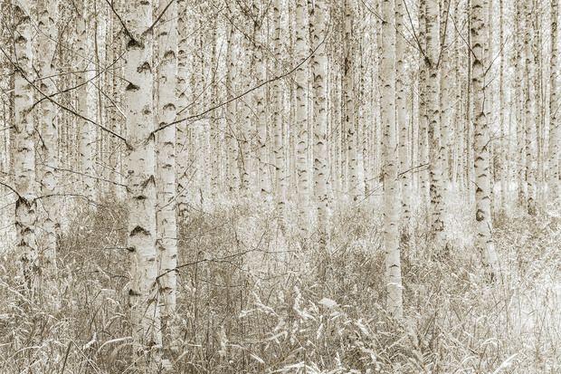 Selbstklebende Tapete Gras : Quiet Birch Forest – Fototapeten & Tapeten – Photowall
