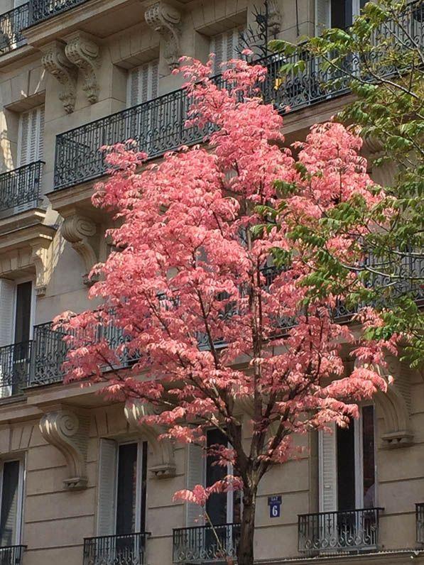 Acajou de Chine avec le nouveau feuillage au printemps, Toona sinensis 'Flamingo', arbre, rue Froidevaux, Paris 14e (75)