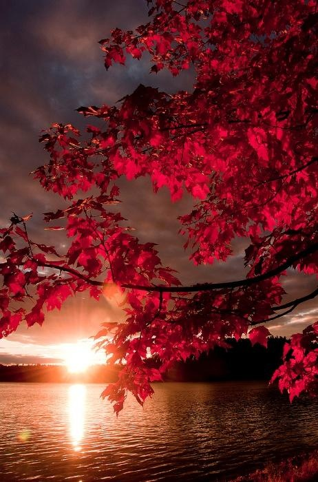 Red Leaves on Tree at Sunset. Nature Photography.   My favorite season and one of my favorite times of the day - very calming.