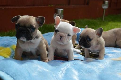 French Bulldog Dogs For Sale In United States Connecticut
