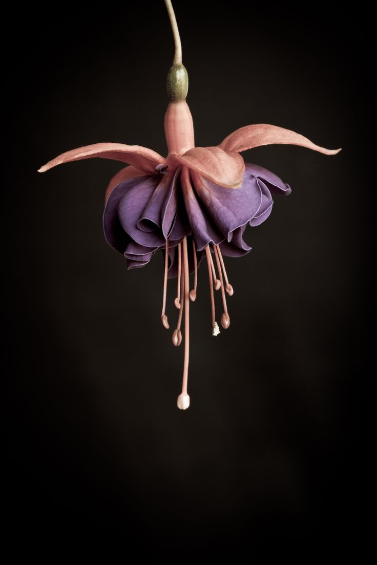 Antique Fuchsia - I processed this one with an aged photo look and I really like the result.