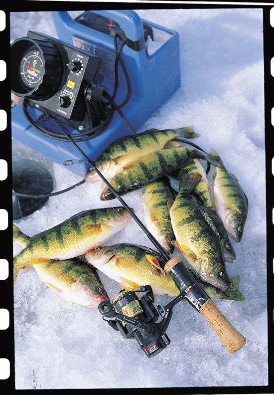 Tendencies and tricks of the trades for ice fishing perch.