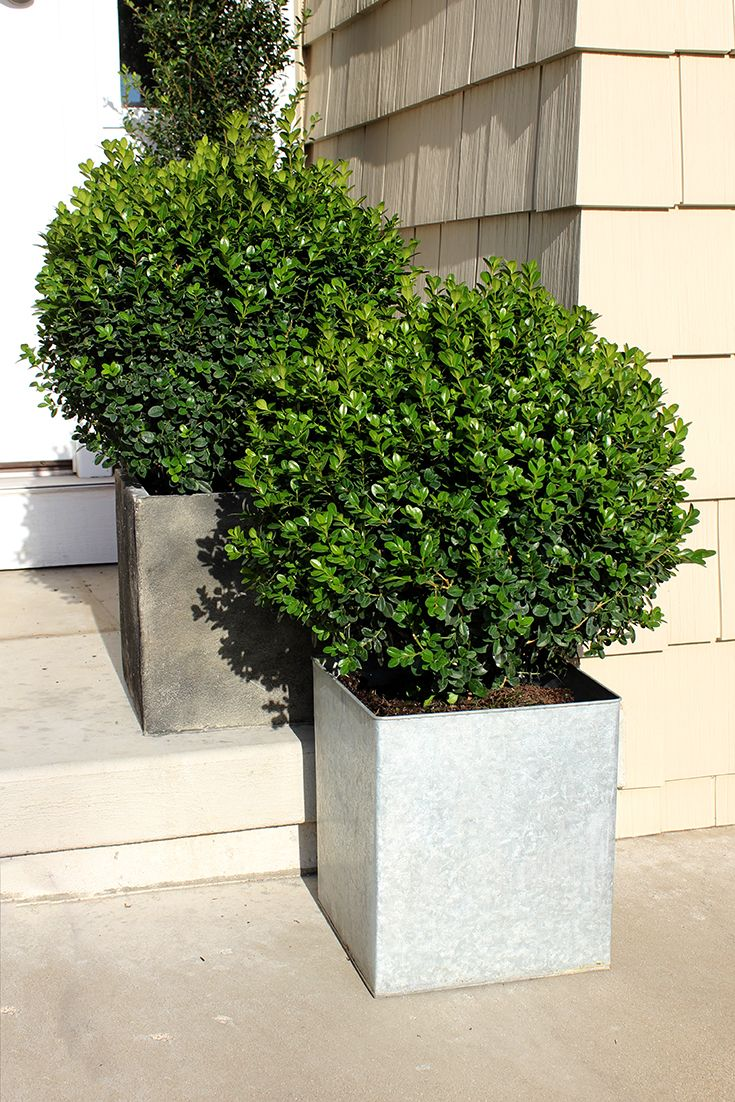 Sprinter® - Boxwood - Buxus Microphylla