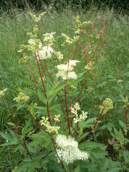 2 / Suite de la cueillette des herbes sauvages comestibles - .