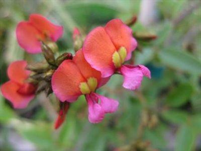 Kennedia coccinea • Australian Native Plants • Plants • 800.701.6517
