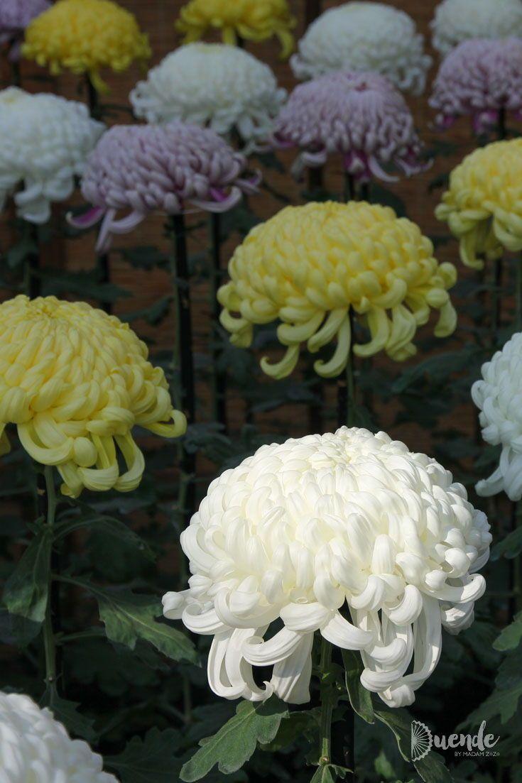 Even Samurai Grow Flowers Experience Japan S Chrysanthemums Growing Flowers Flowers Chrysanthemum