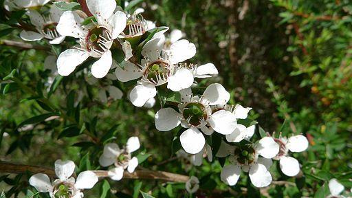 manuka-tree-flower