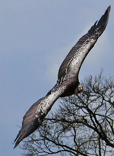 akbaba-vulture uçarken görünüş.Akbaba uçarken süzülüyor.Kanat büyüklüğüne dikkat.