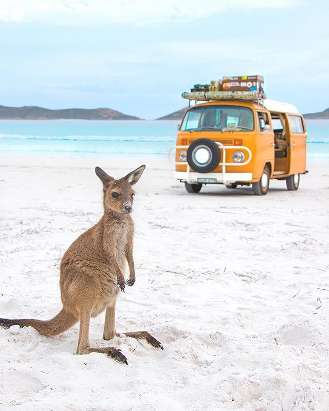 Liked on InstaGram: ~ Nowhere else in the world! ~ Australia, you are all kinds of wonderful! ✨ ~ We were so excited this month to be the @westernaustralia featured photographer! For a closer look at our travels through this amazing part of Australia, check the link our bio  ~ Our time in @australiassw was short but so sweet! We spent the morning with this little guy in Lucky Bay in the Cape Le Grand National Park. Yes the water really is that blue, and the sand really is that white... look…