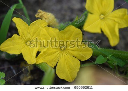 Closeup of yellow cucumber blossoms