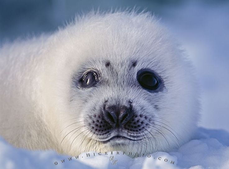 Harp Seal Predators