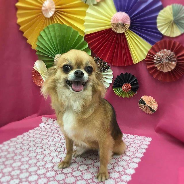 ✂︎ … いつでもにこにこ笑顔なティアラちゃん✨ ティーちゃんのかわいすぎる笑顔と しっぽフリフリの人懐こさ…💕 スタッフはティーちゃんの虜です+。:.゚ヽ(*´ω`)ノ゚.:。+゚(笑) ✂︎ … #ペットショップ #トリミングサロン #トリミング #岡山 #津山 #津山市 #ペットショップグレイス #グレイス #グレイス河辺店 #犬 #トリマー #愛犬 #かわいい #お正月 #ペーパーファン #手作り #和柄 #ハンドメイド #撮影 #セット #dog #trimming #grooming #カット #シャンプー #オゾンシャワー #ロングコートチワワ #チワワ #ちわわ