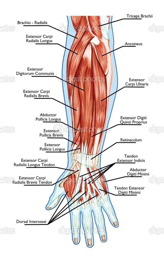 Anatomy of muscular system - hand, forearm, palm muscle - tendons ...