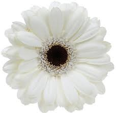 Favorite flower: daisy gerberas    and these would be cute for bouquet wedding: Daisies Flower, White Flower, Gerber Daisies, Dark Center, Gerbera Daisies, White Gerbera, Gerbera Daisy, Wedding Flower, Brides Bouquets