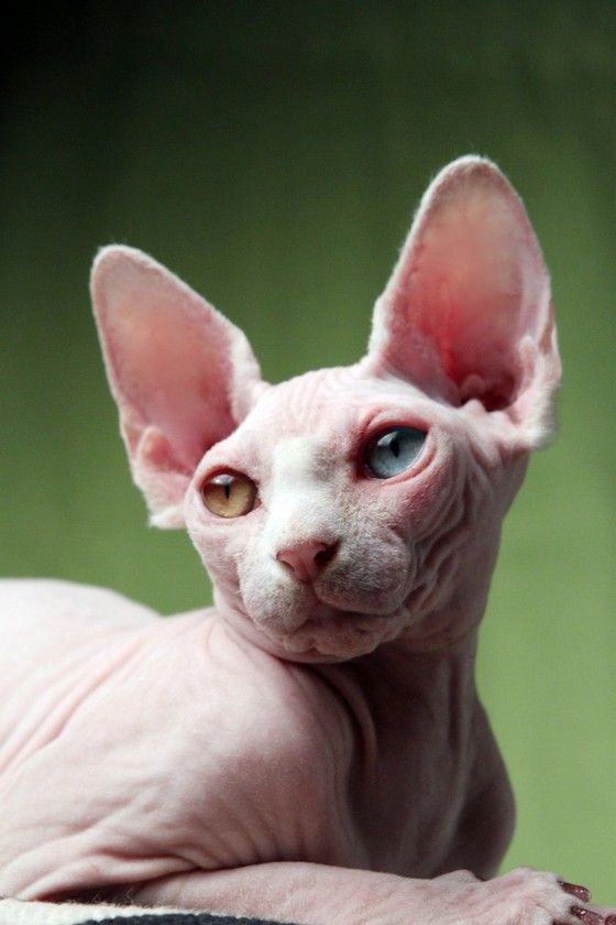 Hairless Cat with Bi-colored Eyes