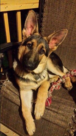 """German Shepherd Puppy """"REX"""" 5  months old."""