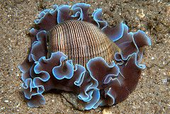 Blue Lined Sea Lettuce