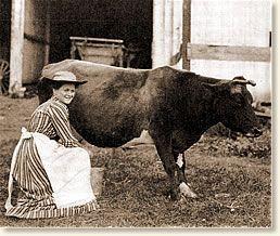 Antique photo of farm wife milking cow, 1900.