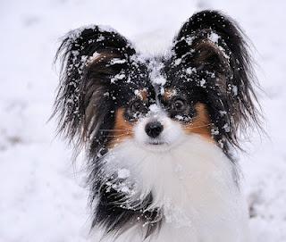 Snow Pap