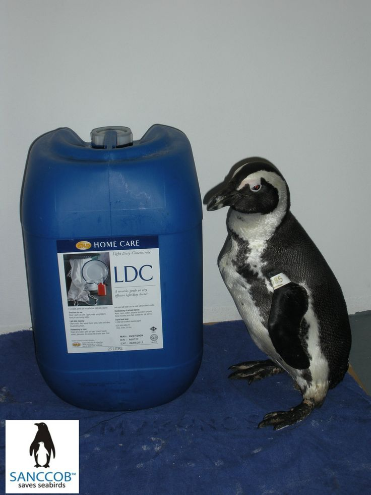 An African Penguin and LDC soap used to wash off oil @SANCCOB