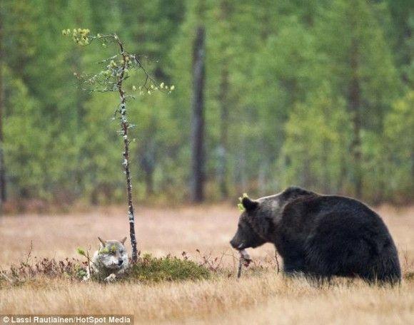 フィンランド北部の荒野で野生動物写真家のラッシー・ラウティアイネン(56)は奇跡の光景を目の当たりにした。若いオスのヒグマと、若いメスのハイイロオオカミが、お互いに分け合いながら夕食を食べあっていたのだ。