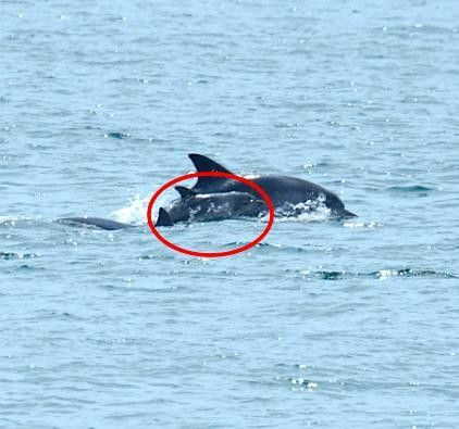 Freedom is a beautiful thing. Dolphin freed from Tank spotted in the wild-with a Newborn Baby!