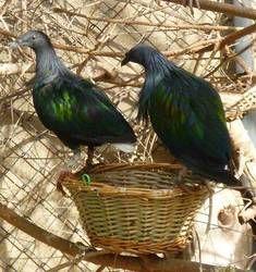 Zoobotanico Jerez :: PALOMA DE NICOBAR