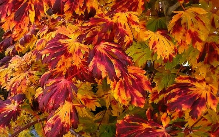 Weeping japanese maple trees for sale for Maple trees for sale