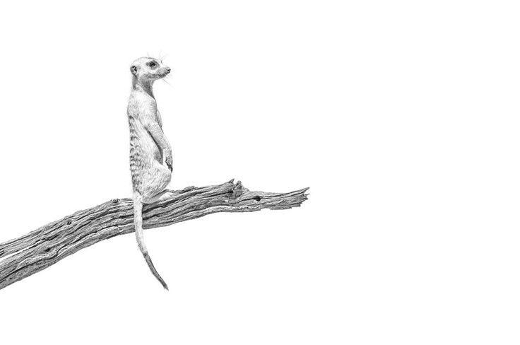 african wildlife print of a meerkat standing guard