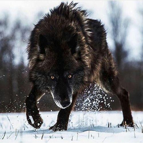 Wolf in Winter snow                                                                                                                                                                                 Más