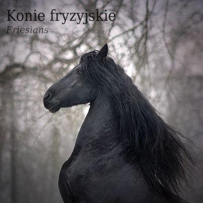 Winter Friesian / Konie Frzyjskie