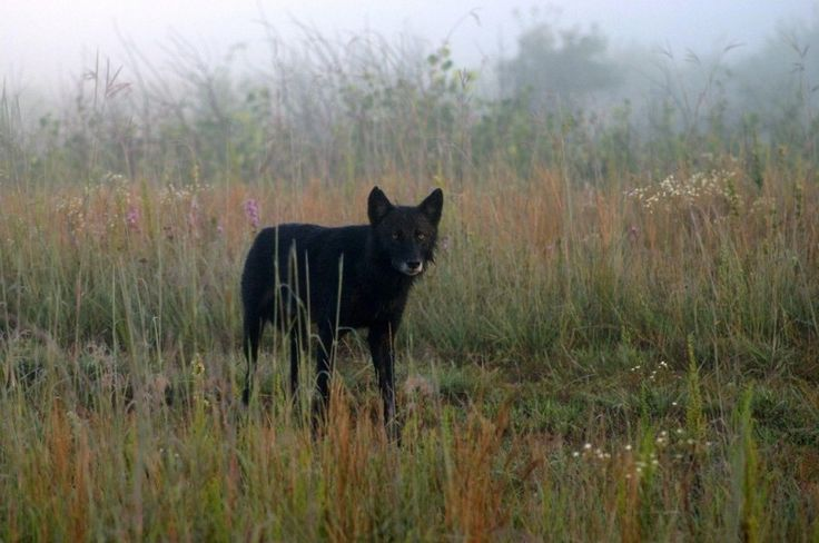 timber wolves Photo - Visual Hunt